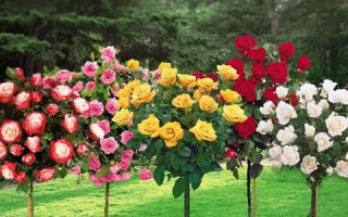 Шиповник для прививки розы на штамб