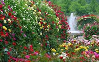 Размножение вьющейся розы черенками