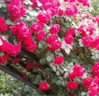 Плетистые розы в сибири