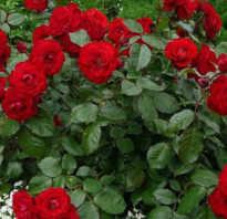Соседи розы на клумбе