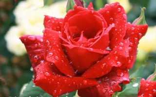 Сорта садовых роз с фото и названиями