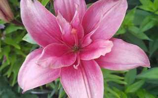 Каких цветов бывают лилии