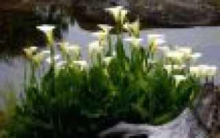 Калы цветы уход в саду