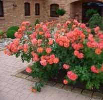 1 парковые розы