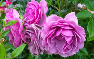 Посадка розы флорибунда сроки место грунт
