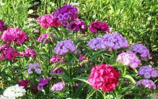 Выращивание многолетних цветов турецкая гвоздика