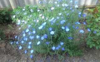 Лён растение выращивание