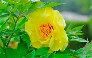 Как выглядят древовидные пионы желтых сортов с фото