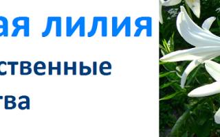 Белая лилия цветок лекарь