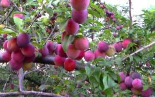 Самые крупноплодные сорта алычи описание