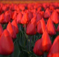 Дарвиновы тюльпаны общее описание