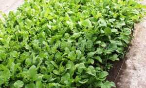 Выращивание редьки на семена технология возделывания