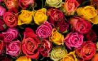 Розы желтые с красной каймой