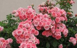 Розы флорибунда уход и выращивание