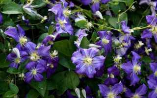 Клематис фото в саду