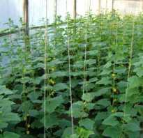 Способы формирования куста огурцов втеплице иповышения урожайности