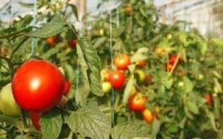 Почему я выращиваю томаты рассадой в теплице