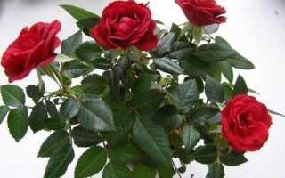 Проращивание розы в картошке