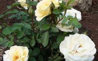 Роза джей пи коннел