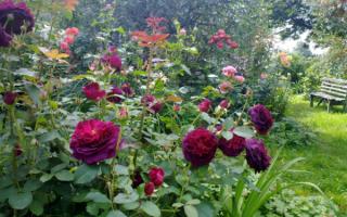 Темно бордовые розы фото