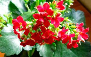 Каланхоэ описание растения