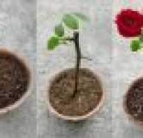Подарили розы как укоренить