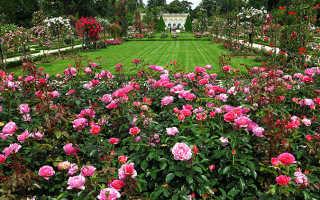 Как приготовить розы к зиме в саду