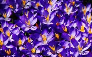 Нежно голубые цветы