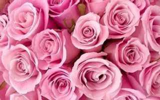 Роза цветок описание для школьников