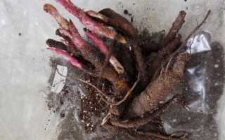 Когда лучше сажать пионы весной или осенью