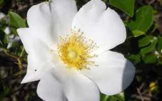 Роза чероки легенда