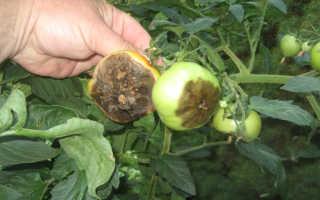 Что такое фитофтороз томатов
