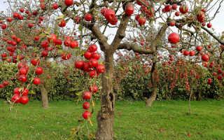 Карликовые деревья для сада фруктовые