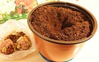 Как посадить лилию дома в горшке