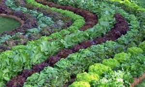 Растение салат описание и польза листового салата