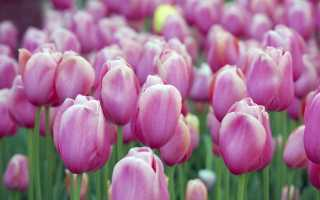 Розовые тюльпаны фото