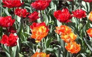 Самые красивые тюльпаны в мире фото