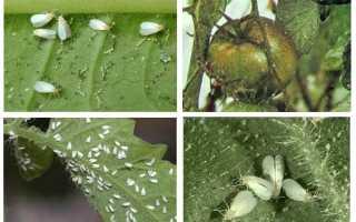 Средство от белокрылки в теплице