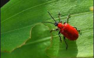 Лилейный жук в природе