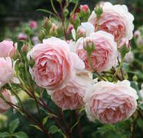 Подготовка перед посадкой английской розы