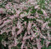 Астра бокоцветковая aster teriflorus