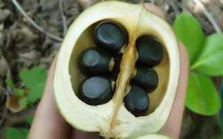 Выращивание чекалкина ореха в подмосковье