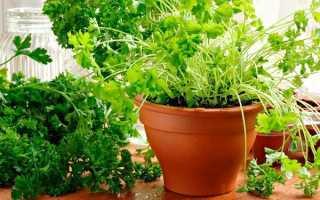 Как выращивать петрушку в домашних условиях зимой