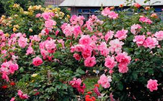 Способы размножения роз