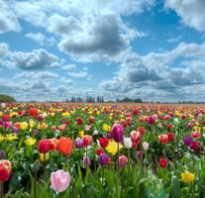 Как выглядит цветок тюльпан фото