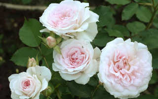 Роза morden blush