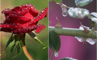 Хранение черенков роз зимой
