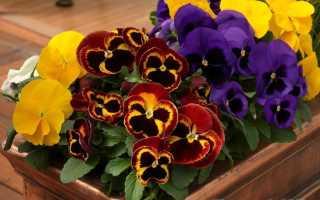 Выращивание цветов виола