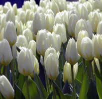 Для чего необходимо пересаживать тюльпаны на новое место