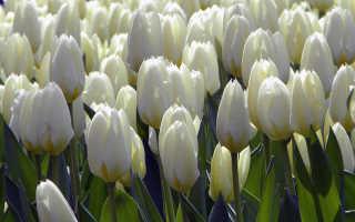 Когда пересаживают тюльпаны